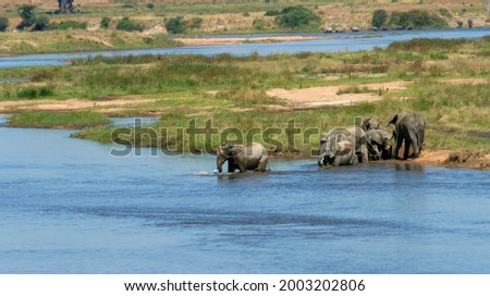 Elephant families gather along the banks of the Great Ruaha River on hot afternoons to bathe, drink and socialise. It is a time of fun and relaxation from the arduous daily routine of feeding Royalty-Free Stock Photo #2003202806