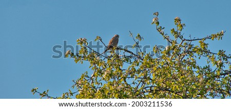 Picture shows a falcon sitting on a treetop looking for prey