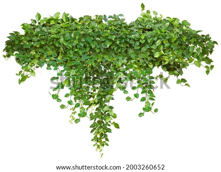 Cutout ivy with lush green foliage. Climbing plant in summer isolated on white background. High quality mask for professional composition. Royalty-Free Stock Photo #2003260652