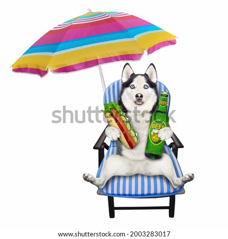 A dog husky on a beach chair is drinking beer and eating a hot dog under an umbrella. White background. Isolated.