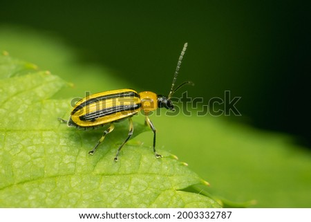Striped Cucumber Beetle reste on a green leaf with blurred background and copy space Royalty-Free Stock Photo #2003332787