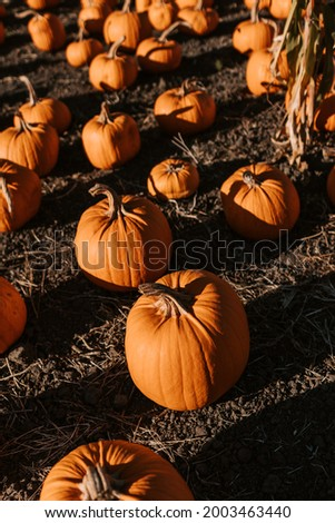 Beautiful picture of pumpkins on a nice fall day.