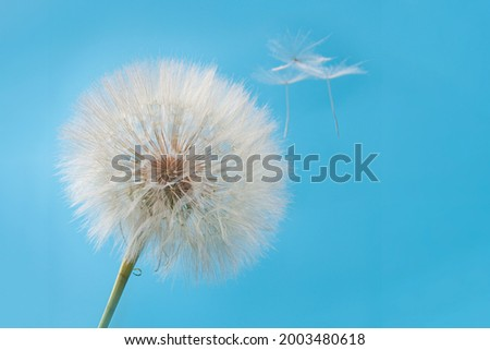 Dandelion with drops close-up macro photo on a blue background. The concept of a poster, a picture.