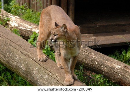A picture of a puma cougar in a local zoo in the city Olmen in belgium.