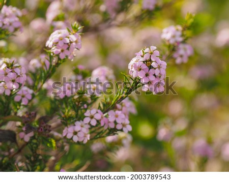 Coleonema pulchellum, pink diosma flowers with leaves as needles, close up. Diosma is conifer, woody, evergreen and dense shrub, cultivated as garden ornamental, flowering plant of the family Rutaceae Royalty-Free Stock Photo #2003789543