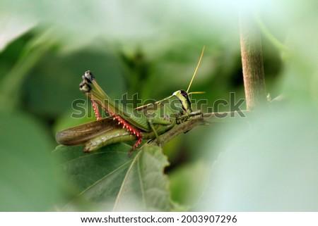 Beautiful grasshopper photo | green grasshopper images