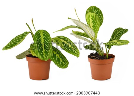 Comparison of raised and lowered leaves during daytime and nighttime of Prayer Plant 'Maranta Leuconeura Lemon Lime' on white background Royalty-Free Stock Photo #2003907443