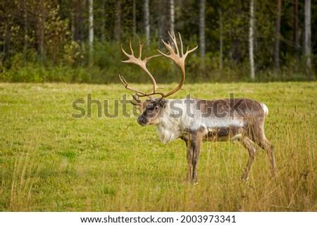 Gorgeous big male reindeer (Rangifer tarandus) standing alone on autumnal grassland Royalty-Free Stock Photo #2003973341