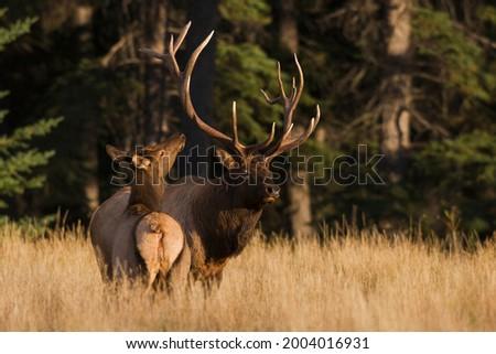 Bull elk courting cow elk Royalty-Free Stock Photo #2004016931