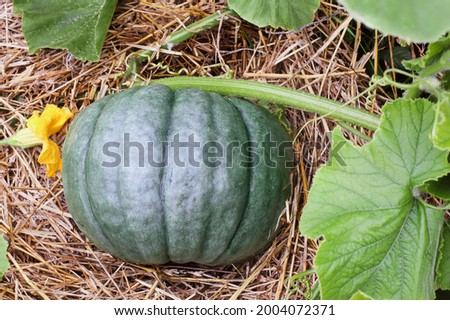 Blue Lakota or Jarrahdale fresh pumpkin growing on the vine in the vegetable garden. Selective focus with blurred foreground.