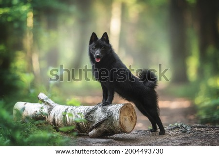 A black schipperke puppy with a pink tongue and shining eyes standing with his front paws on a birch log on a path in a dawn forest