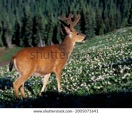 Washington State, Olympic National Park, buck in Avalanche Lily filled meadow near Obstruction Point Royalty-Free Stock Photo #2005071641