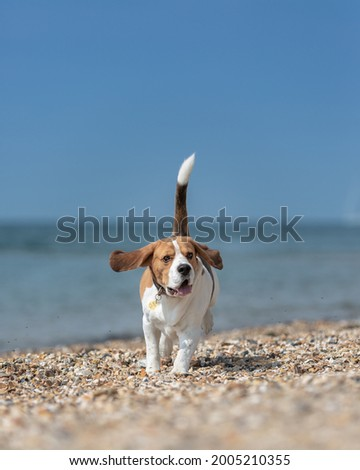 Sharp action photo of a beautiful tricolour beagle running on the beach. Summer dog with his tail up on the blue background. Sunny day on the beach, ocean and blue skies in the background.