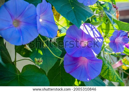Beautiful purple and blue morning glory flowers vine on a house fence on a sunny morning. Royalty-Free Stock Photo #2005310846