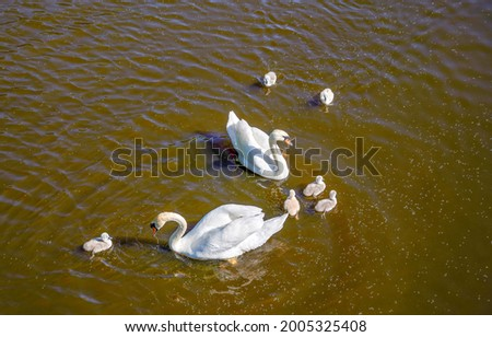 A swan couple with their nestling in a pond. White swan family in water. Happy swan family in water Royalty-Free Stock Photo #2005325408