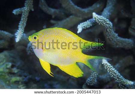 Close up picture of Golden Damselfish that is swimming around staghorn coral reefs.