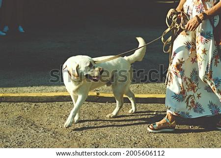 labrador retriever white dog on a leash . High quality photo Royalty-Free Stock Photo #2005606112