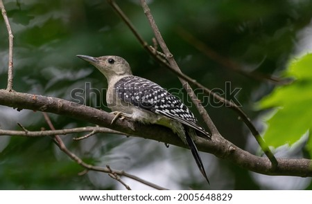 A female juvenile red-bellied woodpecker Royalty-Free Stock Photo #2005648829