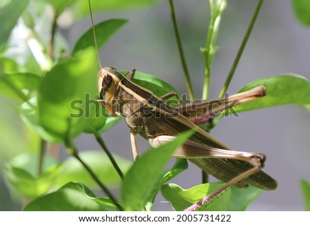 One Grasshopper sitting on green branch of tree for find food , It have brown and dark color on body  , have beautiful of day light shine on and have white soft blur background .