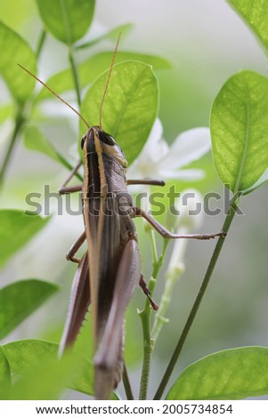 Close up Grasshopper find food at white flower on the tree , have many green leaves around , have soft white nature blur background .