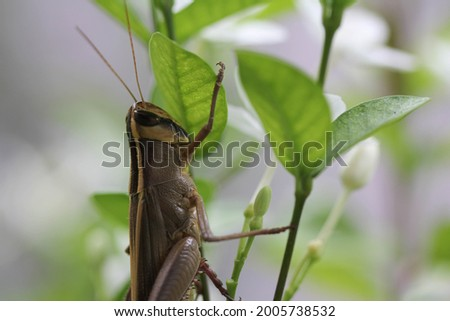 Close up half body of Grasshopper find food stay on the trees , have nature and soft white blur background .