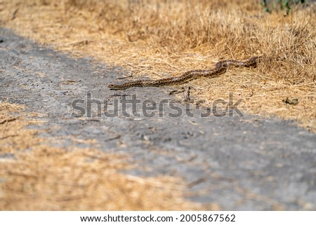 Pacific gopher snake (Pituophis catenifer catenifer) crawls out of dry grass.