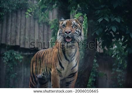 wildlife feline carnivore big cat predator animal tiger zoo   Royalty-Free Stock Photo #2006010665