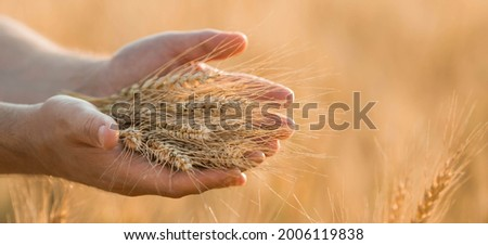 A man holds golden ears of wheat against the background of a ripening field. Farmer's hands close-up. The concept of planting and harvesting a rich harvest. Rural landscape at sunset. Royalty-Free Stock Photo #2006119838