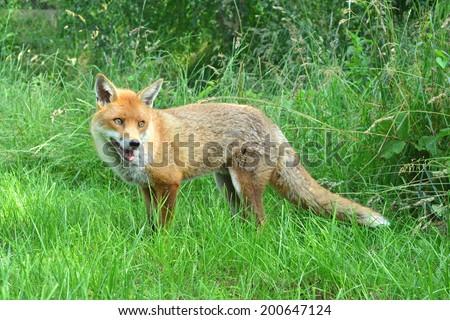 a photo of a wild fox
