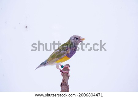 Finches 7color Gouldian Finch, Male one month day Bird Style Face dark orange chest dark purple body dark yellow. New genaration bird in front of a white background. Royalty-Free Stock Photo #2006804471