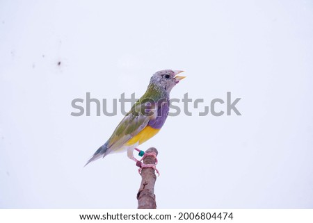 Finches 7color Gouldian Finch, Male one month day Bird Style Face dark orange chest dark purple body dark yellow. New genaration bird in front of a white background. Royalty-Free Stock Photo #2006804474