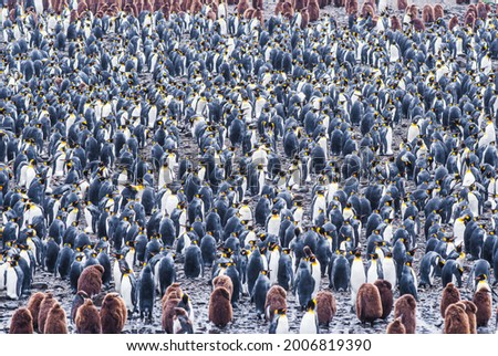 A colony of 500000 king penguins in South Georgia. You can see both adults in juveniles that look like fluffy cartoon characters