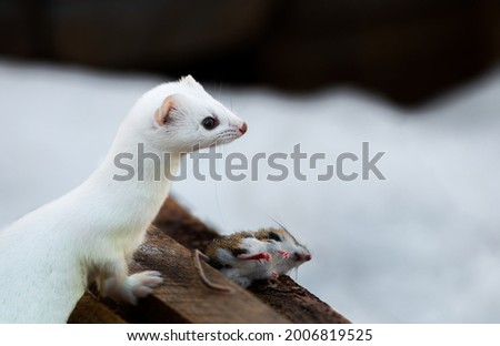 Ermine also known as stoat in Sax SIm Bog Royalty-Free Stock Photo #2006819525
