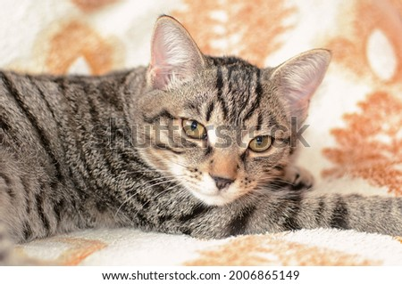 The cute cat is resting on the bed. A gray tabby cat with amber eyes looks at the photographer.