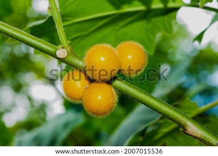 Hairy-fruited eggplant (Solanum stramonifolium, Solanum ferox) hanging on branch tree, native plants of Thailand and Indonesia, both raw and cooked have a sour taste, put in chili paste, used to cook