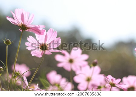 cosmos flowers in the field, close up cosmos Royalty-Free Stock Photo #2007035636
