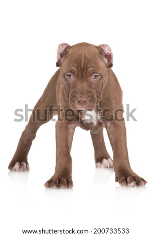 chocolate pit bull puppy standing on white #200733533