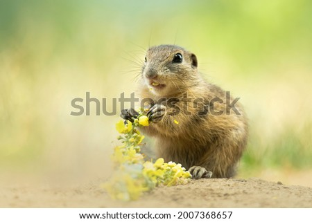 European ground squirrel (Spermophilus citellus), with beautiful green coloured background. An amazing endangered mammal with yellow hair in the steppe. Wildlife scene from nature, Czech Republic Royalty-Free Stock Photo #2007368657