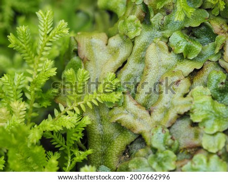 Liverworts and mosses growing together. These are primitive non vascular flowerless plants. Royalty-Free Stock Photo #2007662996