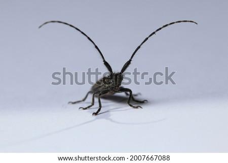 Isolated small long-horned arthropod (Agapanthia cardui, Agapanthia suturalis) Royalty-Free Stock Photo #2007667088