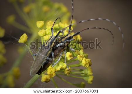 Isolated small long-horned arthropod (Agapanthia cardui, Agapanthia suturalis) Royalty-Free Stock Photo #2007667091