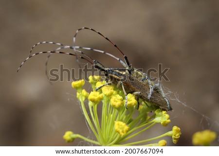 Isolated small long-horned arthropod (Agapanthia cardui, Agapanthia suturalis) Royalty-Free Stock Photo #2007667094