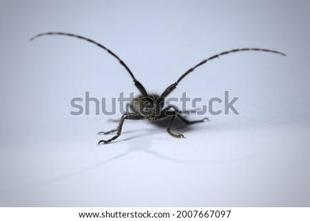 Isolated small long-horned arthropod (Agapanthia cardui, Agapanthia suturalis) Royalty-Free Stock Photo #2007667097