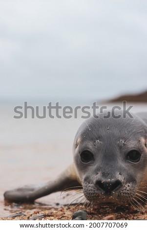 Harbor Seal Pup - Deer Isle Maine Royalty-Free Stock Photo #2007707069