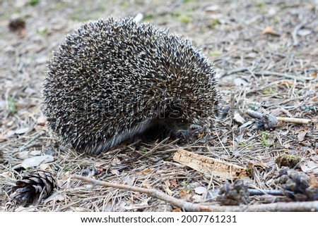 Hedgehog (scientific name: Erinaceus europaeus) A wild native European hedgehog in its natural forest habitat. High quality photo Royalty-Free Stock Photo #2007761231