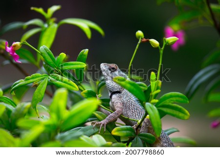 The oriental garden lizard, eastern garden lizard, bloodsucker or changeable lizard (Calotes versicolor) is an agamid lizard found widely distributed  Royalty-Free Stock Photo #2007798860