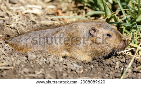Camouflaged Pocket Gopher emerging from its burrow to eat grass roots. Santa Clara County, California, USA.