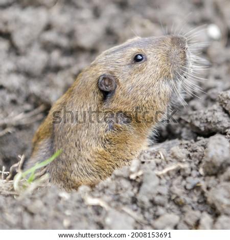 Botta's Pocket Gopher peeking out of burrow with caution. Santa Clara County, California, USA.