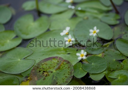 The name of this flower is Water snowflake. Scientific name is Nymphoides indica. Royalty-Free Stock Photo #2008438868