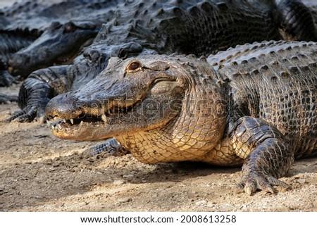 American alligator, swamp habitat, Florida USA Royalty-Free Stock Photo #2008613258